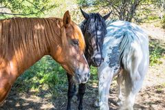 Threesome of horses of different color,. One of which shows its back Royalty Free Stock Photography