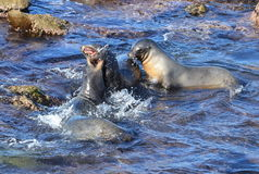 Threesome Playing Rough in La Jolla!. Seals playing at the Cove in San Diego Stock Image