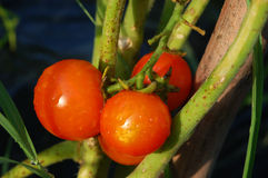 Threesome of red tomatoes. On the plant Royalty Free Stock Photography
