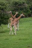 A threesome of Rothschild Giraffe stock images