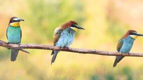 Threesome salvaje hermoso de los pájaros que se sienta en una rama metrajes