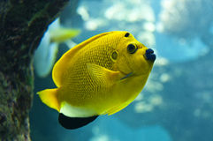 Threespot angelfish (Apolemichthys trimaculatus) Royalty Free Stock Photo