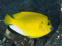 Threespot angelfish Stock Photography