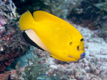 Threespot angelfish Royalty Free Stock Images