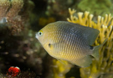 Threespot Damselfish. On a coral reef in the Caribbean Sea Royalty Free Stock Photography