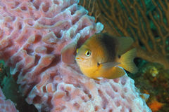 Threespot Damselfish and Sponge Stock Photo