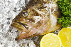 Threestripe rockfish Stock Image