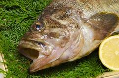 Threestripe rockfish Royalty Free Stock Photography