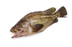 Threestripe rockfish Royalty Free Stock Image