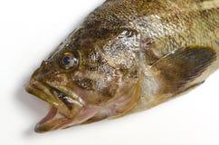 Threestripe rockfish Stock Photo