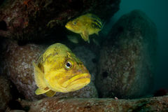 Threestripe rockfishes under water Royalty Free Stock Image