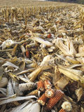 Threshed corncobs on the ground Stock Images