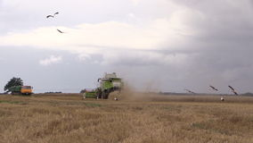 Thresher harvest wheat and stork birds fly. stock video