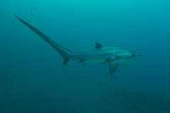 Thresher shark profile Stock Photos