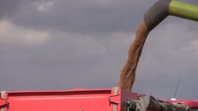 Thresher unloads wheat grain on farmland field background stock video