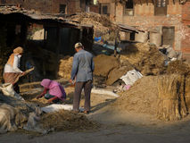 Threshing grain by hand stock images