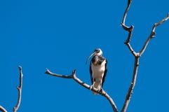 threskiomis сторновки spinicollis ibis латинские названные necked Стоковое Фото