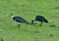 threskiomis сторновки spinicollis ibis латинские названные necked Стоковое Изображение RF