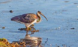 threskiomis сторновки spinicollis ibis латинские названные necked Стоковые Фотографии RF