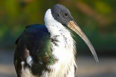 threskiomis сторновки spinicollis ibis латинские названные necked стоковая фотография rf