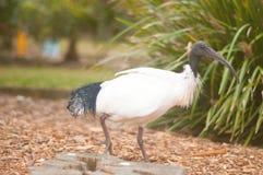 threskiomis för ibis latinskt namn hånglade spinicollissugrör royaltyfria foton