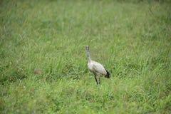 Threskiornis aethiopicus (Taiwan birds). Stock Images
