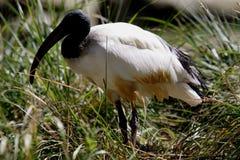 threskiornis ibis aethiopicus священнейший стоковое фото