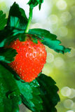 Thrickets d'une fraise Photos libres de droits