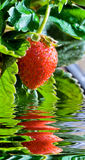 Thrickets d'une fraise Images stock