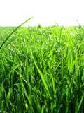 Thrickets di alta erba verde Immagini Stock Libere da Diritti