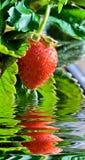 Thrickets einer Erdbeere Stockbilder