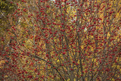 Thrickets ripened rowan Royalty Free Stock Photography