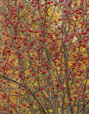 Thrickets ripened rowan Stock Photography
