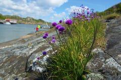 Thrift θάλασσας Στοκ φωτογραφίες με δικαίωμα ελεύθερης χρήσης