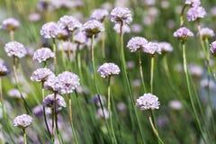 Thrift θάλασσας maritima Armeria, λουλούδια που ανθίζει σε ένα λιβάδι Στοκ φωτογραφίες με δικαίωμα ελεύθερης χρήσης
