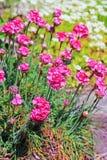 Thrift παραλιών maritima Armeria, Plumbaginaceae Στοκ φωτογραφίες με δικαίωμα ελεύθερης χρήσης