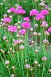 Thrift Armeria maritima. Colorful and crisp image of thrift Armeria maritima Royalty Free Stock Photo