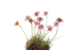 Thrift. Clump of Thrift, Armeria maritima or sea pink flowers isolated against white Royalty Free Stock Image