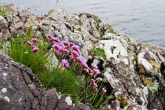 Thrift flowers. At the coast Stock Photography