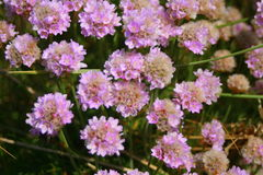 Close up of Thrift flowers Stock Photography