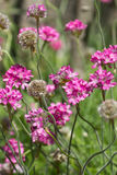 Thrift seaside lat. Armeria maritima Mill. vulgaris Willd on the flowerbed in city Park Royalty Free Stock Photos