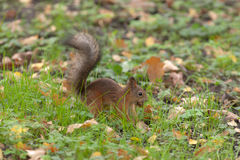 The thrifty squirrel Stock Photography
