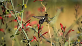 For The Thrill Of It. A manual focus of a super male hummer in flight, hiding behind a set of flowers Royalty Free Stock Photo