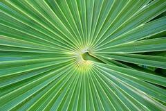 THRINAX RADIATA de la palma de paja de la Florida del Chit Imagen de archivo