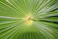 THRINAX RADIATA de la palma de paja de la Florida del Chit Imágenes de archivo libres de regalías