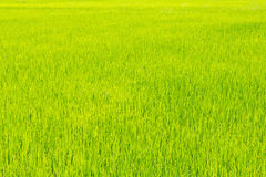 Thrived rice land for background Royalty Free Stock Image