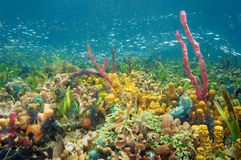 Thriving and colorful underwater life. With sea sponges, corals and shoal of small fish, Caribbean sea, Colombia stock image
