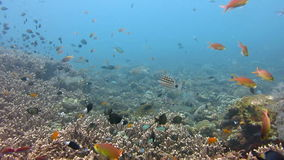 Thriving coral reef alive with marine life and shoals of fish, Bali. stock video footage