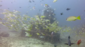 Thriving  coral reef alive with marine life and shoals of fish, Bali. stock video