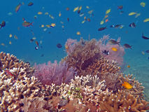 Thriving coral reef alive with marine life. And shoals of fish, Bali royalty free stock photography